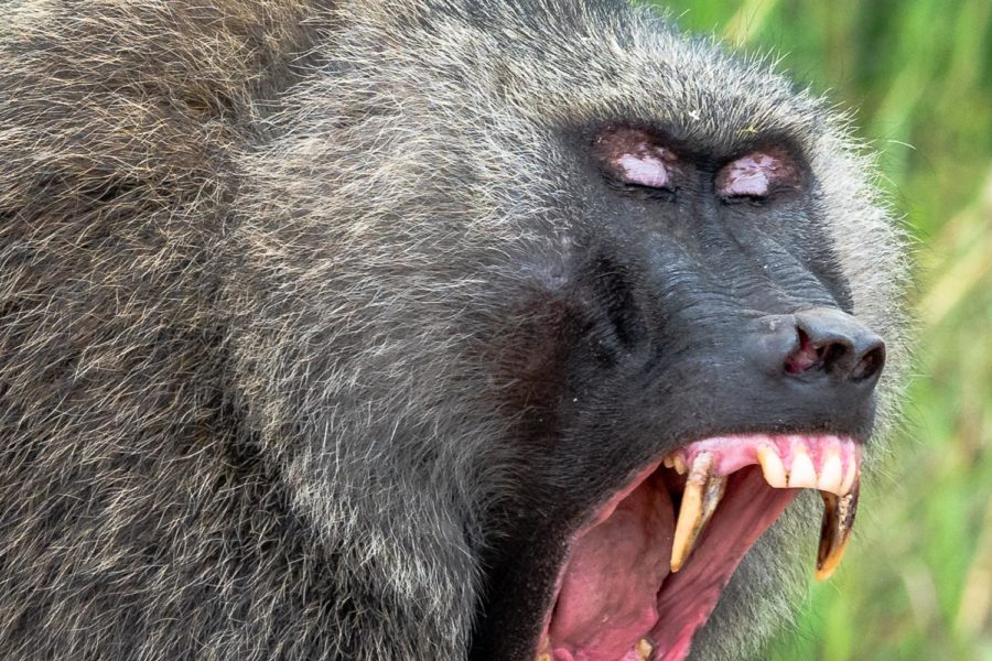 Baboon - Queen Elizabeth National Park