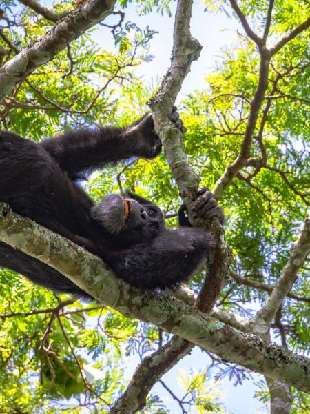 Chimp Hammock