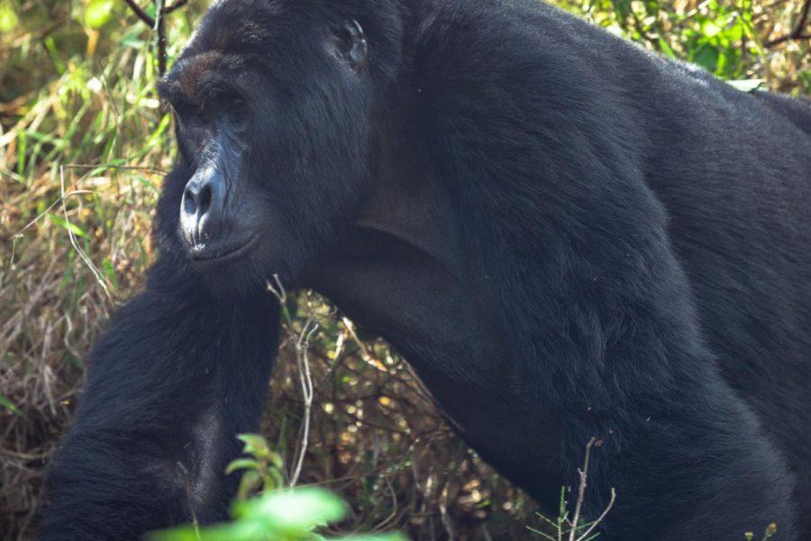 Gorilla Knuckle Walk