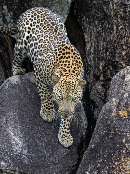 Leopard - Kidepo National Park